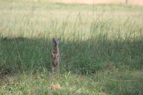 One of many Meerkats at Maccauvlei posing for the camera